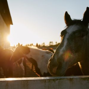 horses in sunset Northern Kashubia