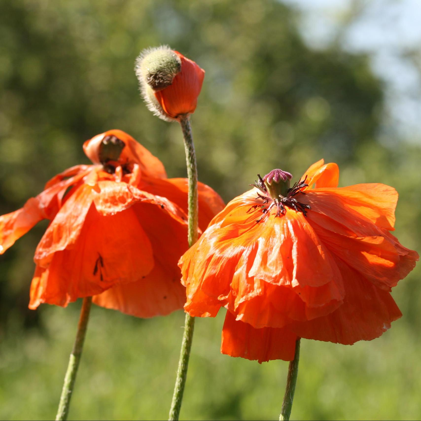 red poppies lithuania